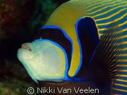 Emperor angelfish taken at Marsa Bareika, Ras Mohamed Par... by Nikki Van Veelen
