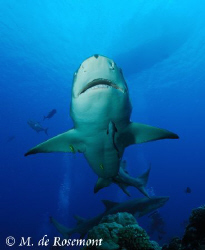Unusual shot of a lemon shark's belly. D50/12-24mm (Borab... by Moeava De Rosemont