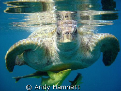 All aboard! Morla, my favourite turtle.  by Andy Hamnett
