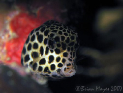 A cute juvenile Spotted Trunkfish (Lactophrys bicaudalis)... by Brian Mayes