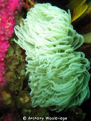 Feather duster Worm, taken at Thunderbolt Reef in Port El... by Anthony Wooldridge