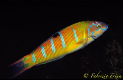 """This colorful copy of """"Thalassoma pavo"""" livery women, is ... by Fabrizio Frixa"""