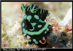 Image of Nembrotha Kubaryana, taken with Canon G7 - inter... by Budy Lukman