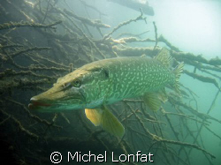 Another pike shot... this one is most probably a female -... by Michel Lonfat