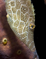 A little Slender Filefish from Bonaire. by Jim Chambers
