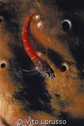 Fishs - Trypterigion tripteronotus by Vito Lorusso