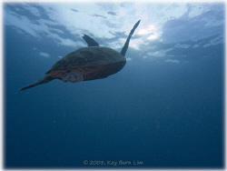 Turtle off Sipadan Island. On this one dive, I counted 28... by Kay Burn Lim
