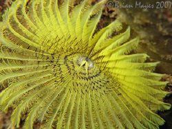 A plain and simple Yellow Fanworm (Notaulax occidentalis)... by Brian Mayes