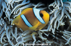 Amphiprion bicinctus (Two-banded anemonefish), Egyptian R... by Emanuel Gonçalves