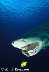Quite a challenge to get the jaw of a lemon shark. So I h... by Moeava De Rosemont