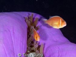 Anenome Fish with Closed Anenome by Tony Sung