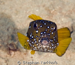 yellow boxfish (ostracion cubicus) taken in Na'ama bay, s... by Stephan Kerkhofs