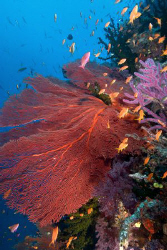 Gorgonian reef scene by Andy Lerner