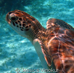 friendly green turtle in belize by Jessica Vinokur