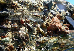 Dragon Fly taking a breather after buzzing me while snork... by Andy Hamnett