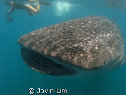 Whale shark (Rhincodon typus) in Donsol by Jovin Lim