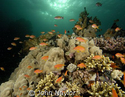 red sea anthias and corals by John Naylor
