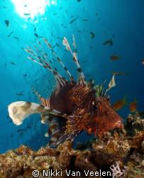 Lionfish and sunburst taken at Marsa Bareika, Ras Mohamed... by Nikki Van Veelen