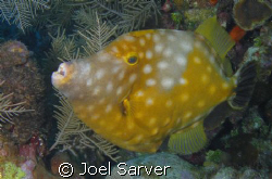 Spotted File Fish by Joel Sarver