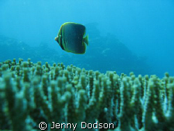 Butterflyfish caught off guard swimming over some plate c... by Jenny Dodson