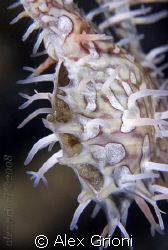 Male Ghost pipefish pouch. by Alex Grioni