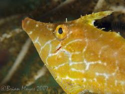 Close-up of Slender Filefish (Monacanthus tuckeri), not t... by Brian Mayes