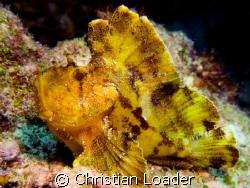 Leaf Scorpionfish - at Dhonfanu Reef, Baa Atoll, Maldives... by Christian Loader