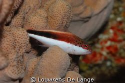 Freckled Hawkfish by Louwrens De Lange