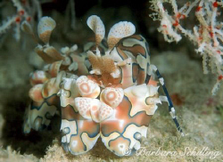 Harlequin Shrimp under tiny piece of coral. Taken with a ... by Barbara Schilling