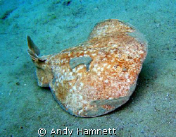 Mucky Torpedo Ray at the house reef in Safaga. by Andy Hamnett