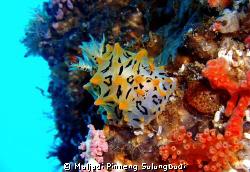 """DELIGHTFUL This Halgerda okinawa I found in """"Mikes' deli... by Muljadi Pinneng Sulungbudi"""