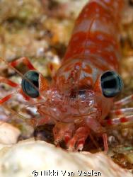 Up close and personal Green-eye dancing shrimp taken on a... by Nikki Van Veelen