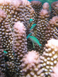 green pullers swimming in purple coral ,vuna rd Nuku'alof... by Trevor Byett