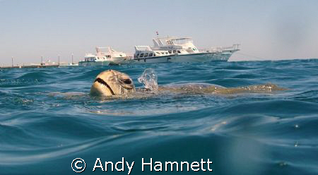 Turtle taking air at the surface. by Andy Hamnett