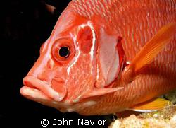 Squirrel fish nikon d200 60mm macro lens.Elphinstone reef. by John Naylor