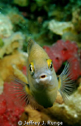 Free Swimming fish, captured at just the right moment! by Jeffrey J. Runge