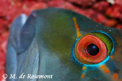 Close shot of a sleeping fish during a night dive. D50/10... by Moeava De Rosemont