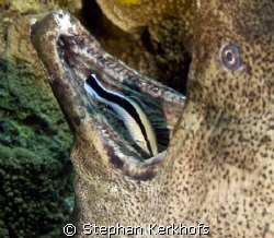 giant moray (gymnothorax javanicus) getting cleaned by a ... by Stephan Kerkhofs