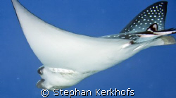 another closeup of spotted eagle ray (aetobatis narinari)  by Stephan Kerkhofs
