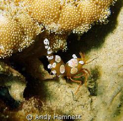 Hollowback Shrimp by Andy Hamnett