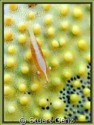 Pin Cushion Shrimp, taken with 60mm macro F5 1/60s IOS200. by Stuart Ganz
