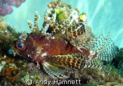 Pygmy Lionfish, I think.  by Andy Hamnett