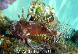 Pygmy Lionfish, I think.  by Andy Hamnett