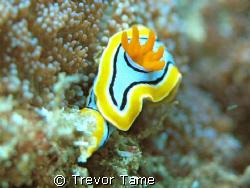 naudibranch at Flinders Reef by Trevor Tame