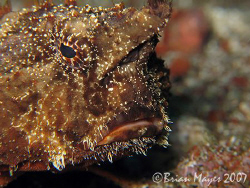 Shortnose Batfish (Ogcocephalus nasutus) doesn't look ver... by Brian Mayes