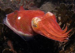 Red cuttle, Sepia mestus. Bare Island by Doug Anderson