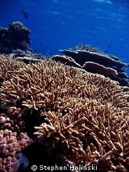 Great Barrier Reef, Hard-Corals by Stephen Holinski