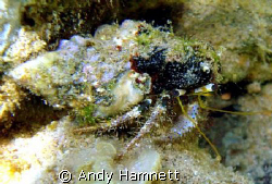 One Hermit crab that didn´t retreat as soon as I got there.  by Andy Hamnett