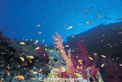 Dendronephthya sp. (Soft Coral), Egyptian Red Sea, Nikon ... by Emanuel Gonçalves