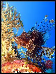 Spectacular Lionfish Red Sea, Ras Zathar, Sharm el Sheik... by Riccardo Colaiori